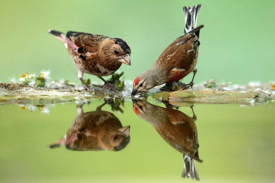 crimson winged finch & linnet drinking from small bond