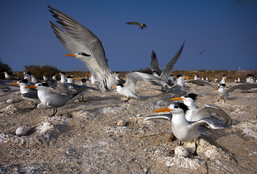 lesser crested terns nesting in kubbar island