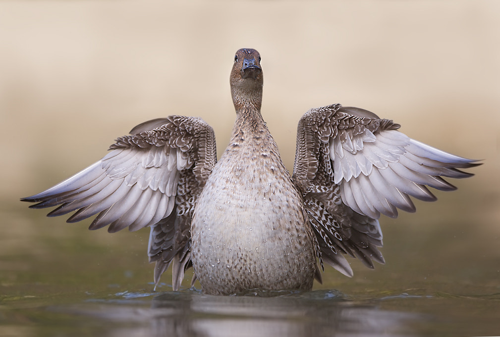 Photograph Duck by Stefano Ronchi on 500px