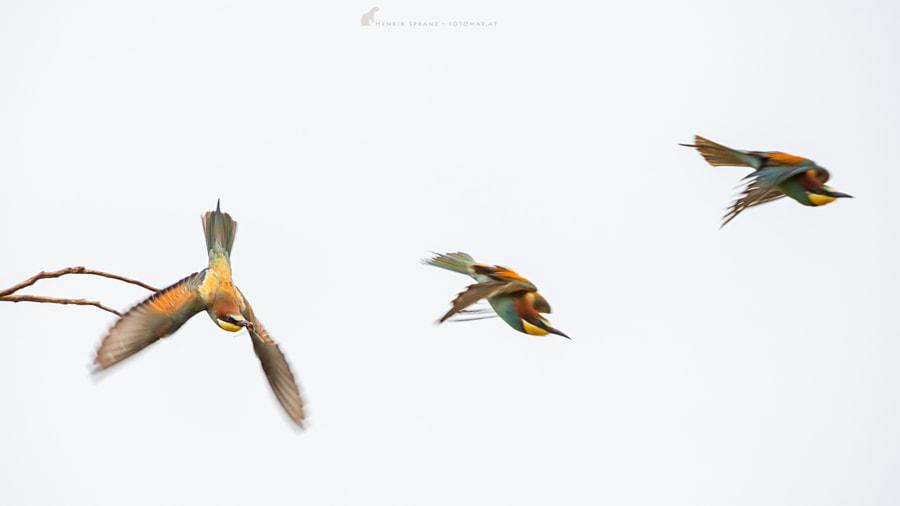 ~ Bee-eater studies ~