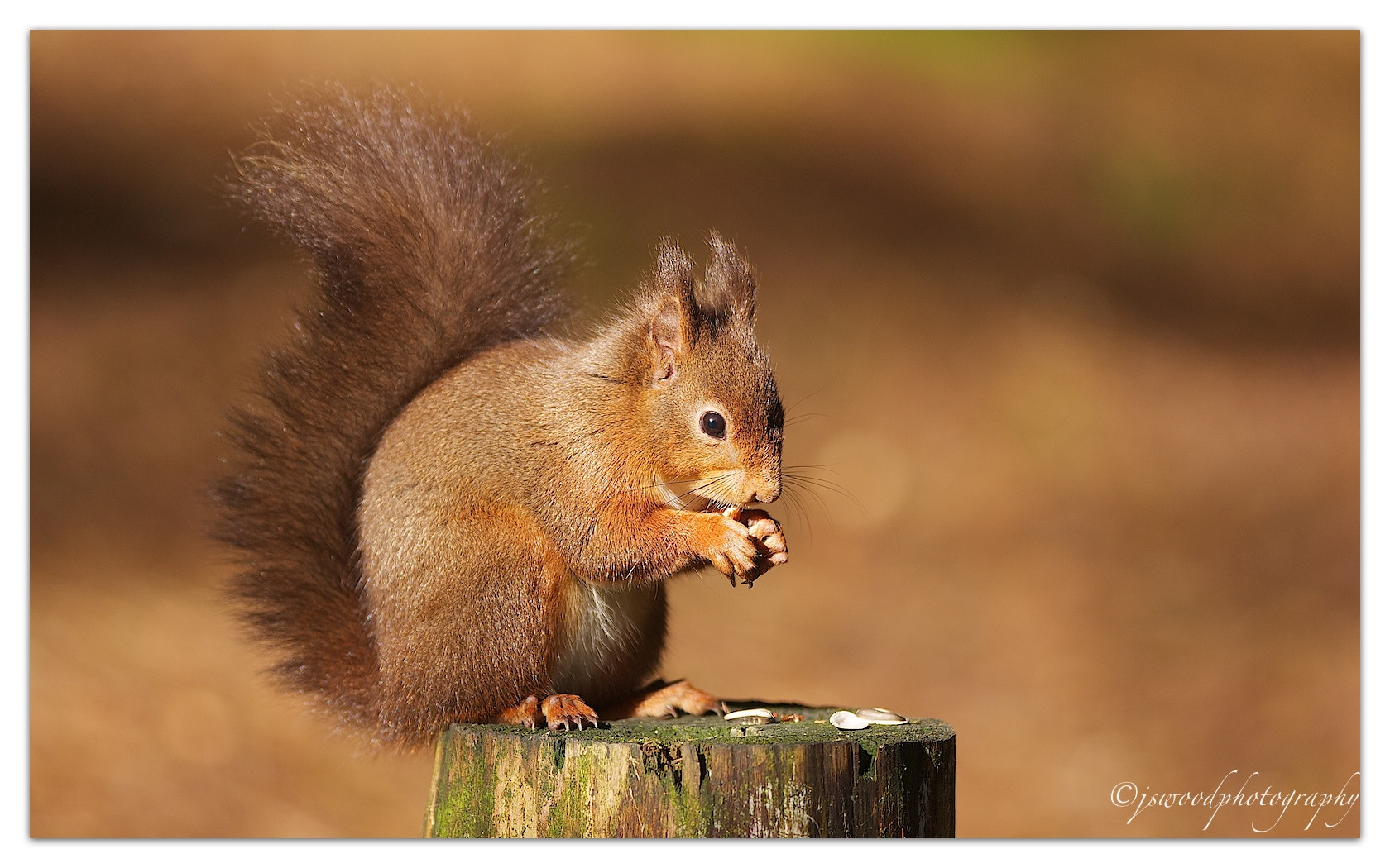 Photograph Tufty the Red Squirrel by Jason Wood on 500px