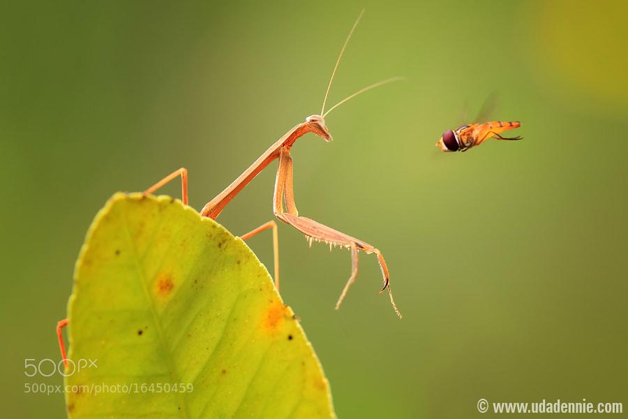 Photograph Mantis VS Bee by Uda Dennie on 500px