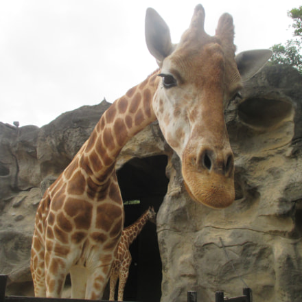 Close up Giraffe, Canon IXUS 135