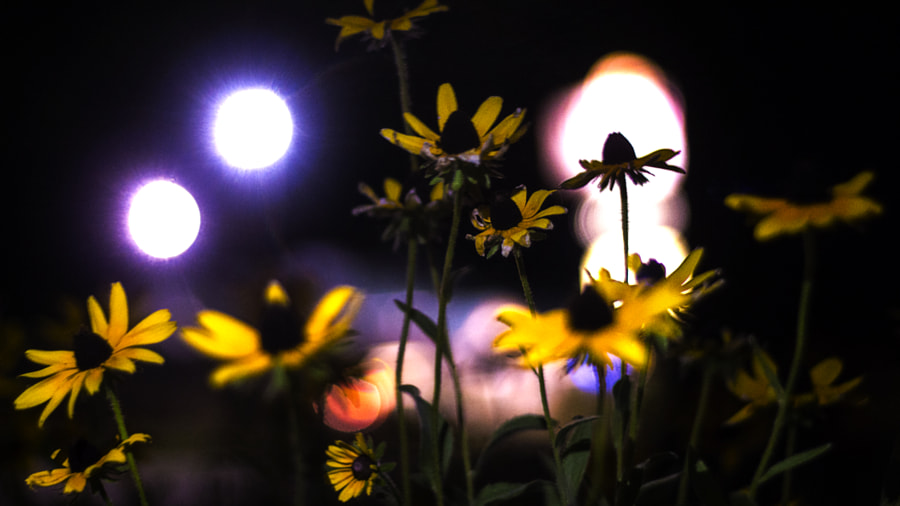 Midnight Blackeyed Susans by Jeff Carter on 500px.com