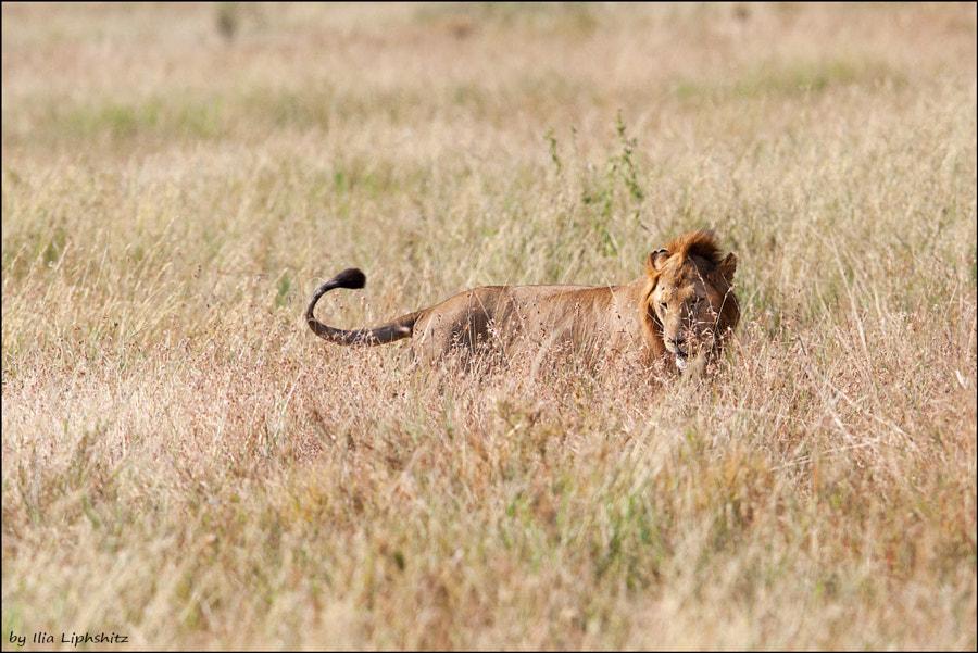 Lions of Serengeti №3