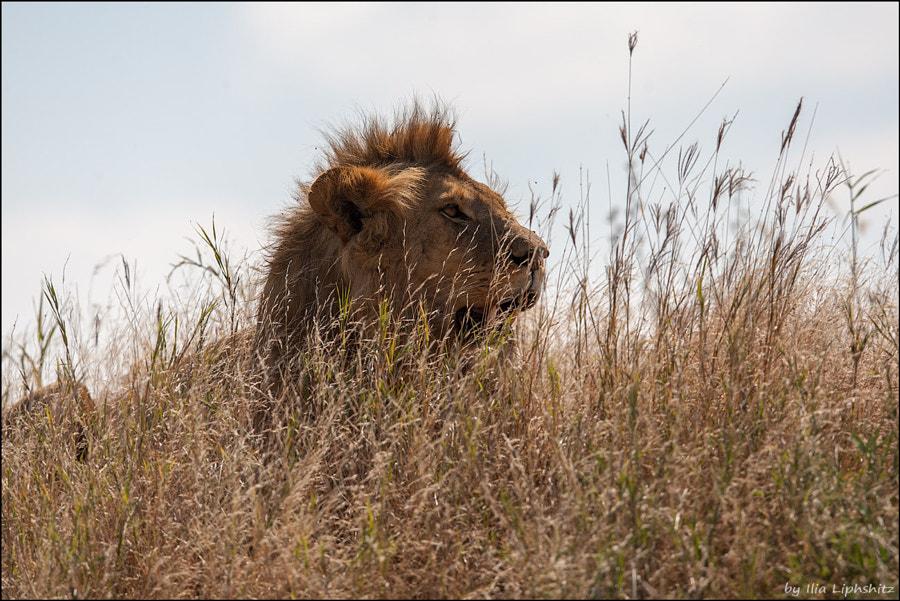Lions of Serengeti №2
