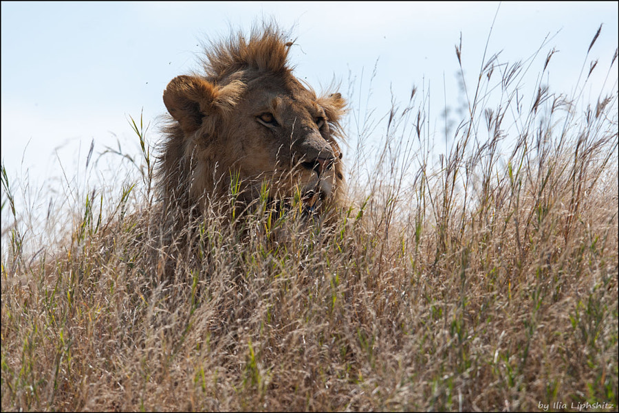 Lions of Serengeti №1