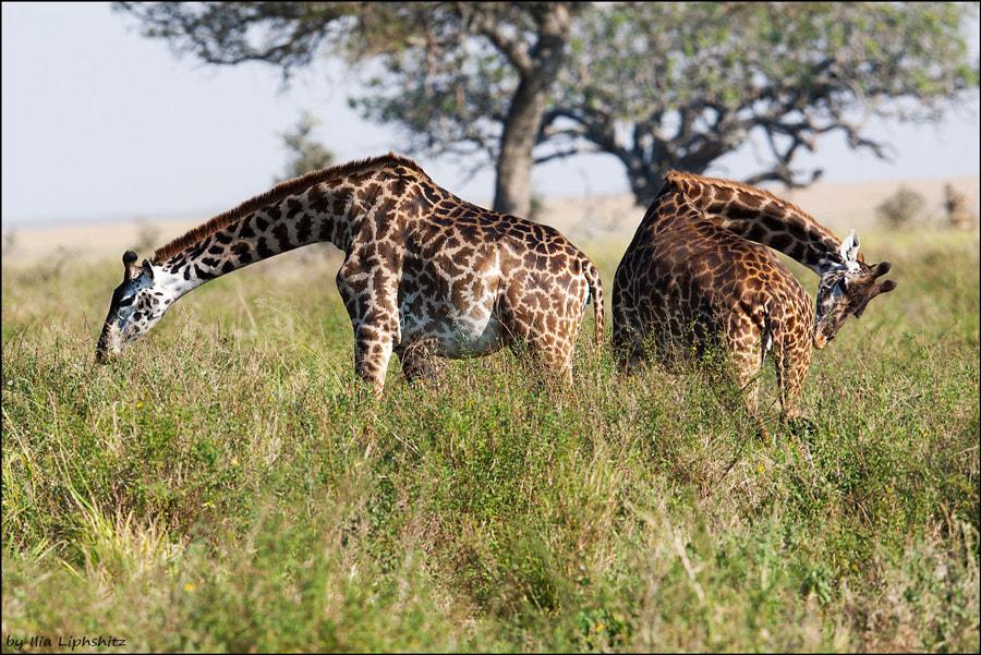 Giraffes if Serengeti №1
