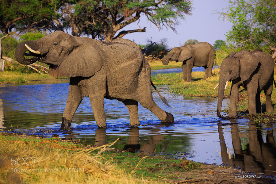 Photograph Elephants in Kwango River  by Radek Borovka on 500px