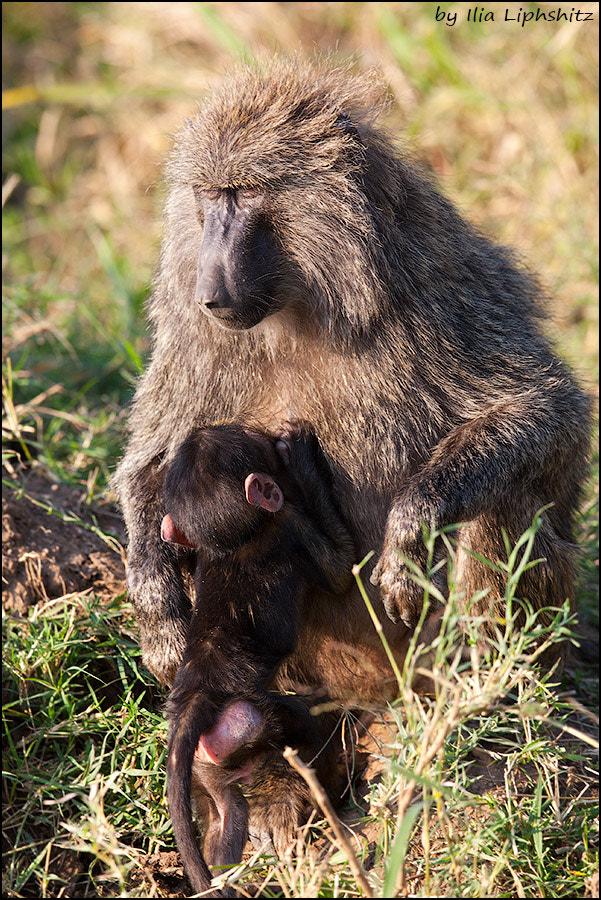 Baboons of Serengeti №1