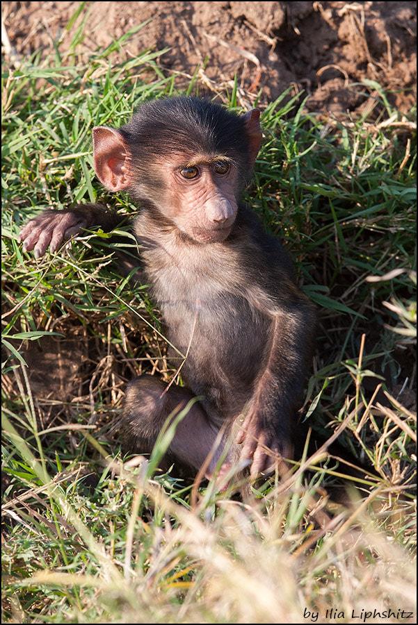 Baboons of Serengeti №2