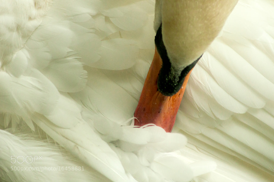 Photograph Preening Mute Swan by Dave Flynn on 500px