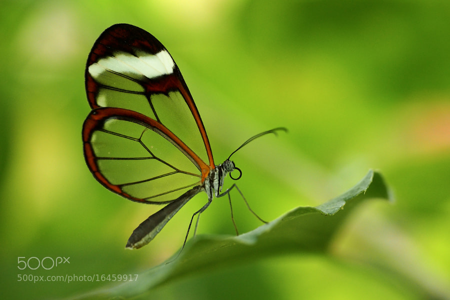 Photograph Glasswing by John Purchase on 500px