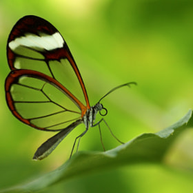 Glasswing by John Purchase (klythawk)) on 500px.com