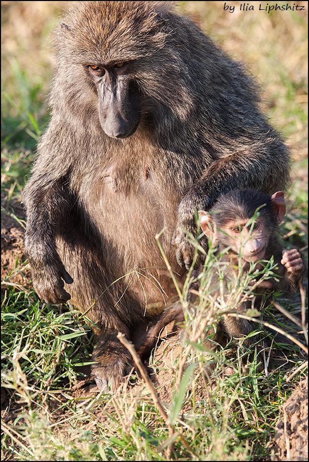 Baboons of Serengeti №3