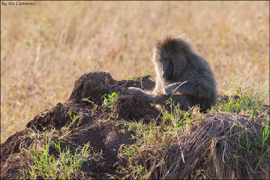 Baboons of Serengeti №4