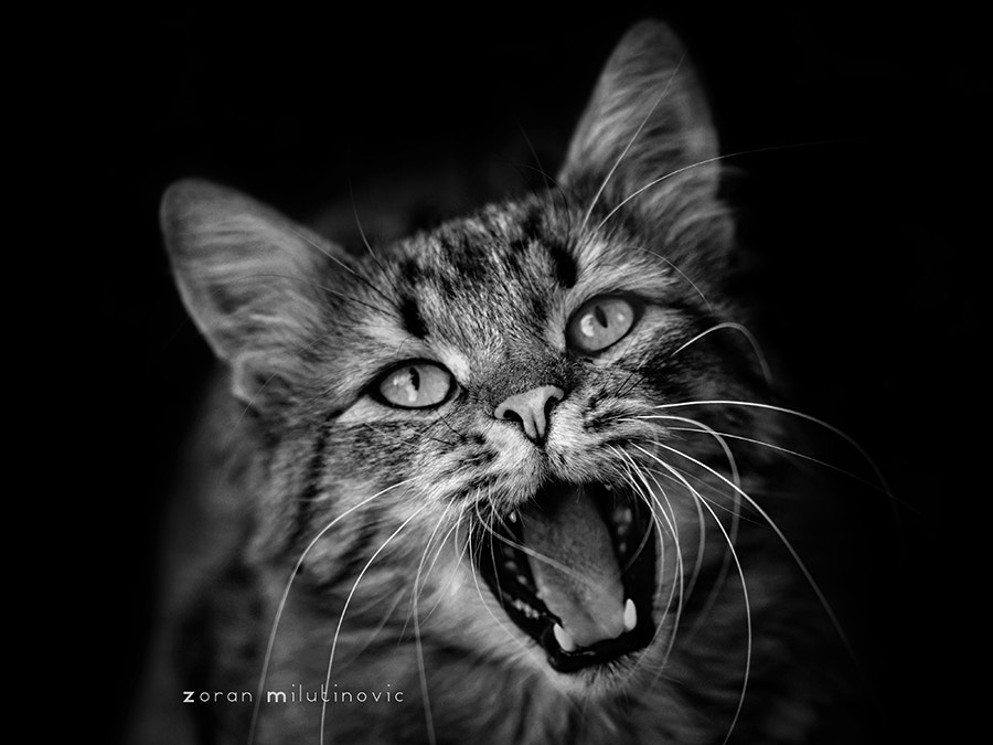 Photograph Roar time! by Zoran Milutinovic on 500px