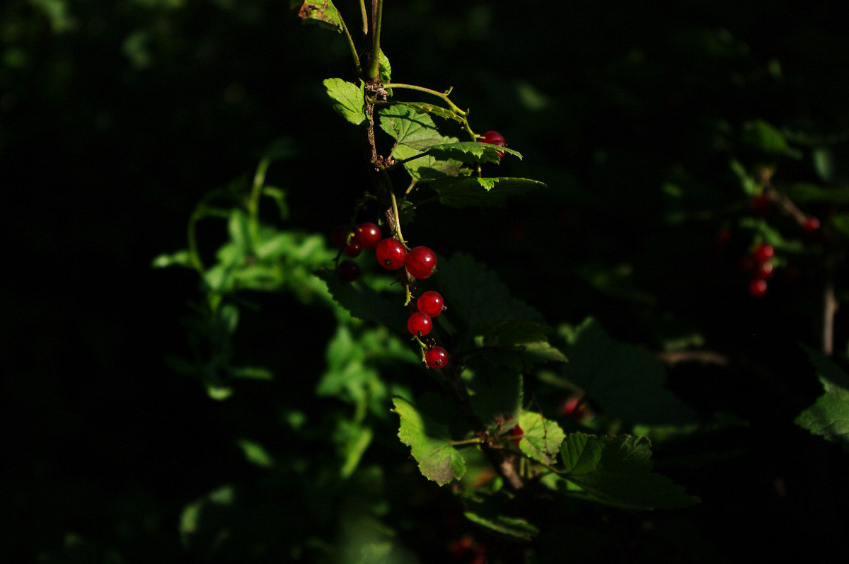 Photograph Currant by I'm Olga on 500px