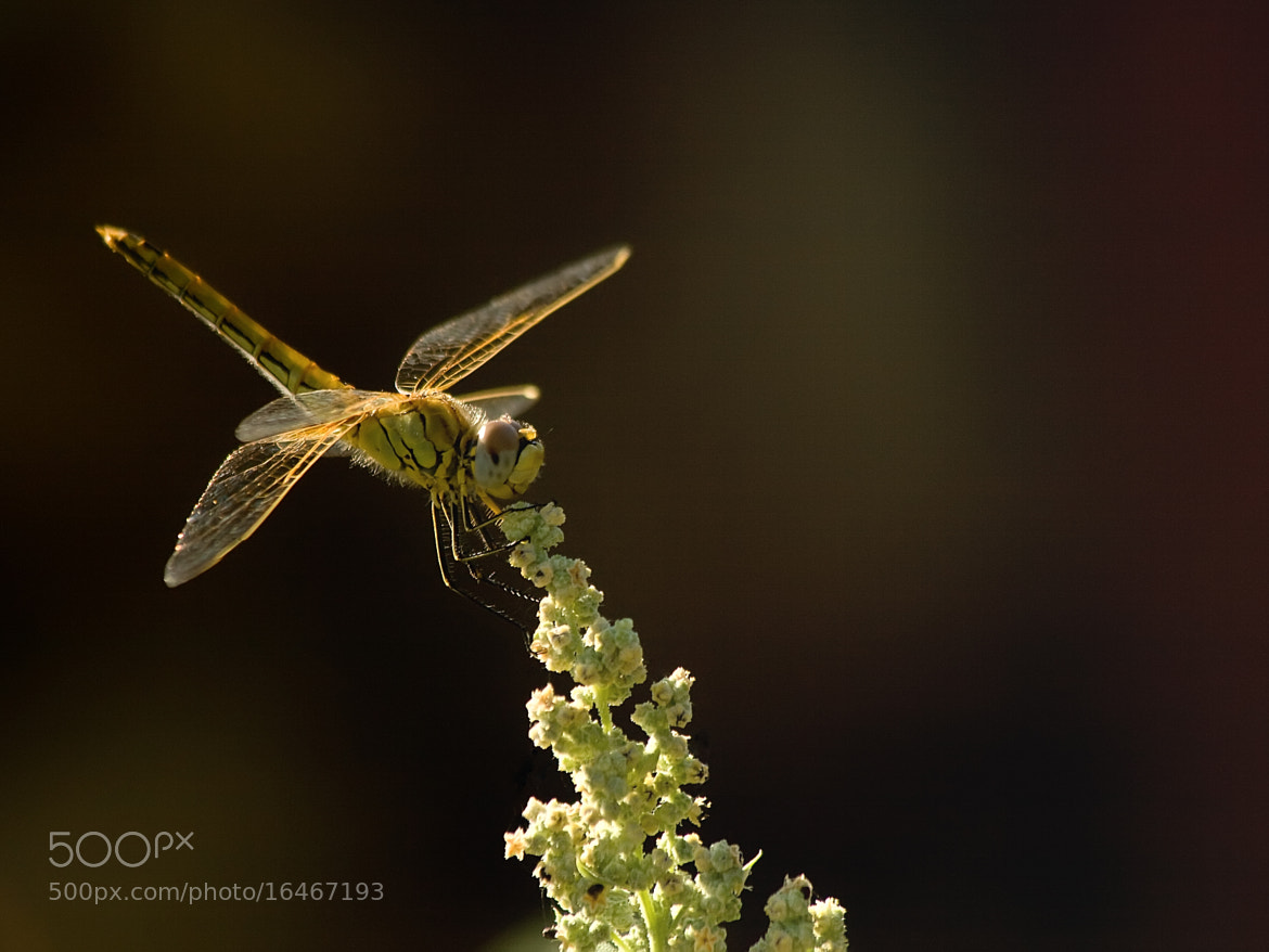 Photograph Sunshine on a landed Dragonfly. by Kuzeytac LSI on 500px