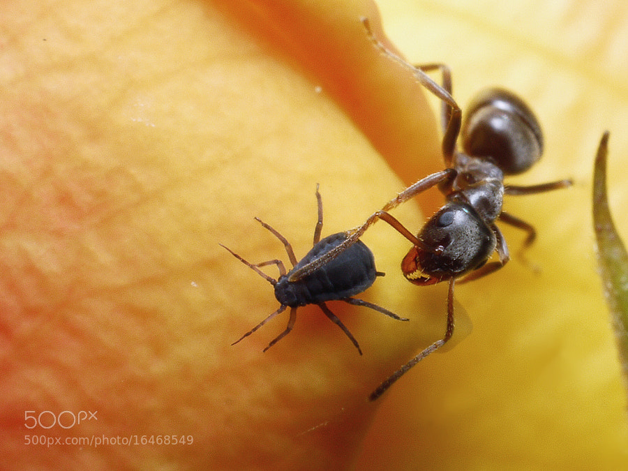 Ant training an aphid #1