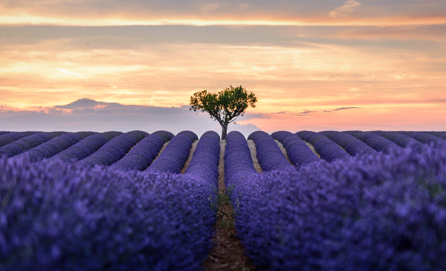 Lonely Planet-lavender at valensole by Zhong Han on 500px.com