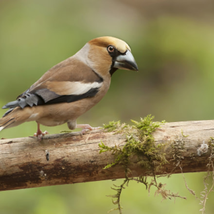 Appelvink ( Coccothraustes coccothraustes