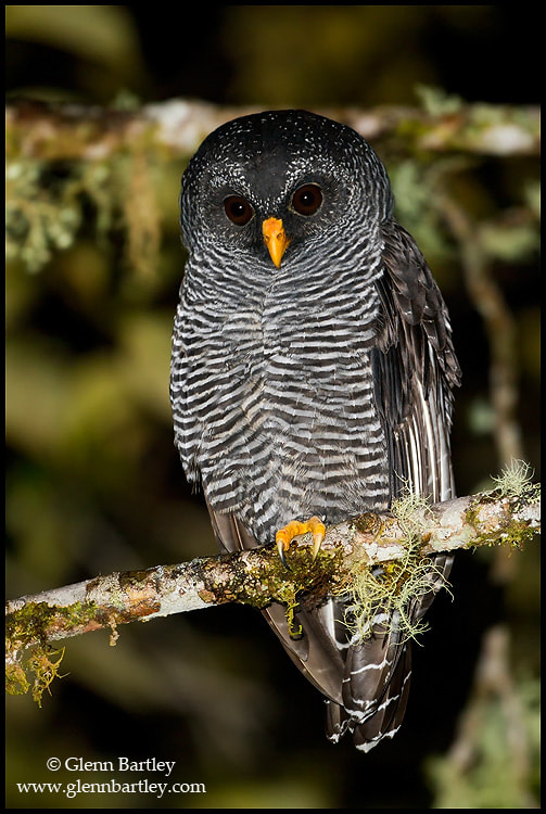 Photograph Black-banded Owl (Ciccaba huhula) by Glenn Bartley on 500px