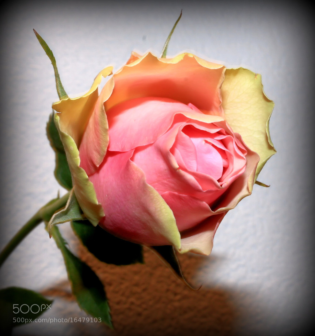 Photograph Rose by karin van buren on 500px