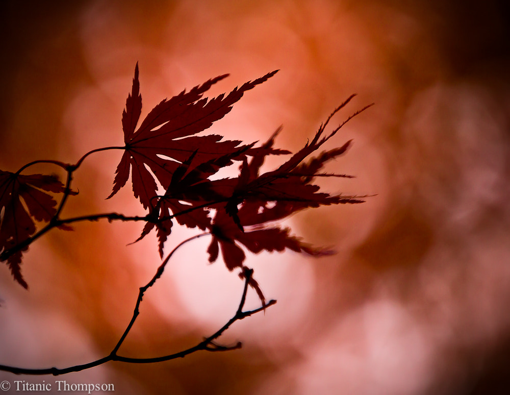 Photograph Maple by Adrian Thompson on 500px
