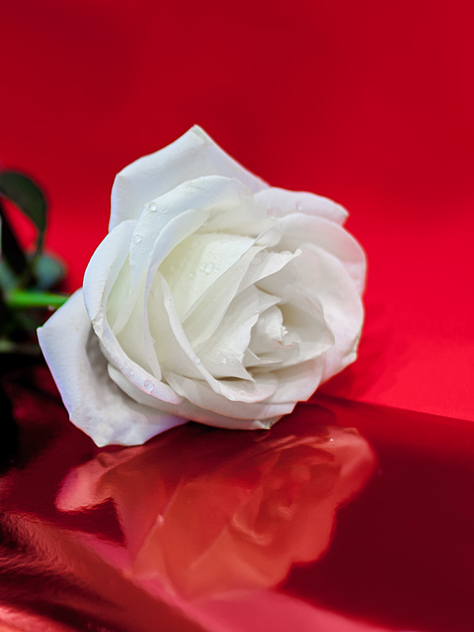 Photograph white rose by Den Zen on 500px