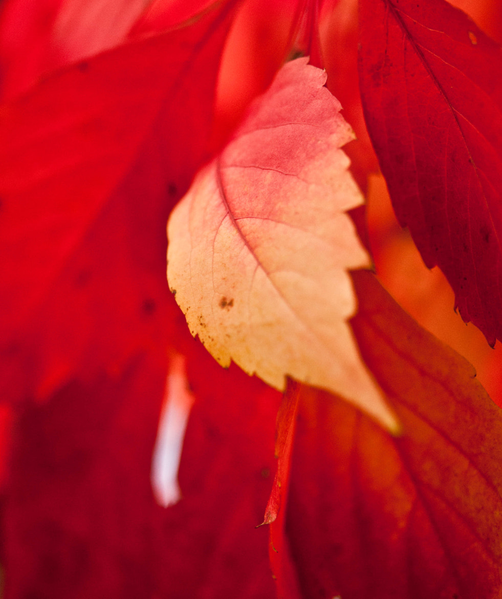 Photograph Flaming Leaves by Neha Bhaskar on 500px
