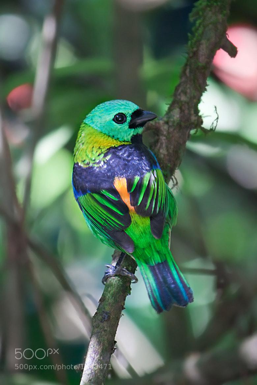 Photograph Green-headed Tanager (Tangara seledon) by Evandro Augusto Pereira on 500px
