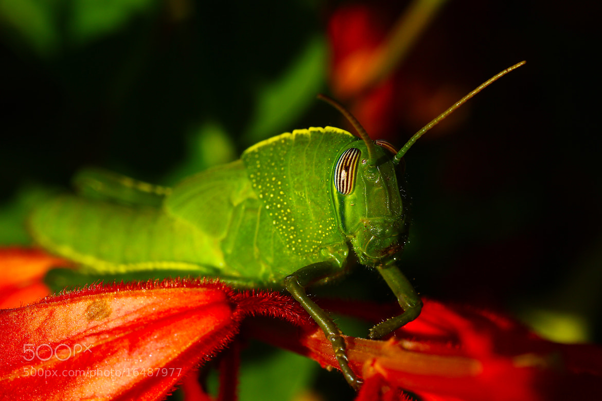 Photograph Green Locust Nymph by Charlie Fayers on 500px
