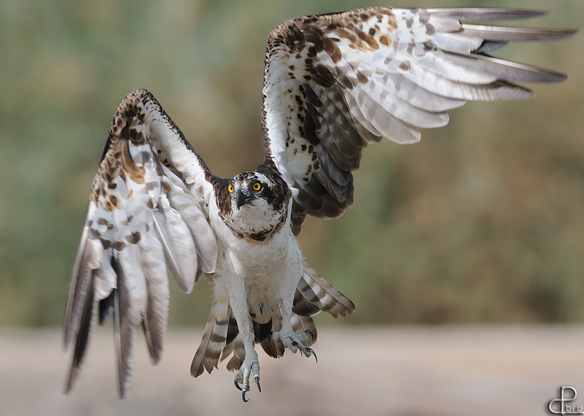 Photograph Osprey by Pablo Rudaeff on 500px