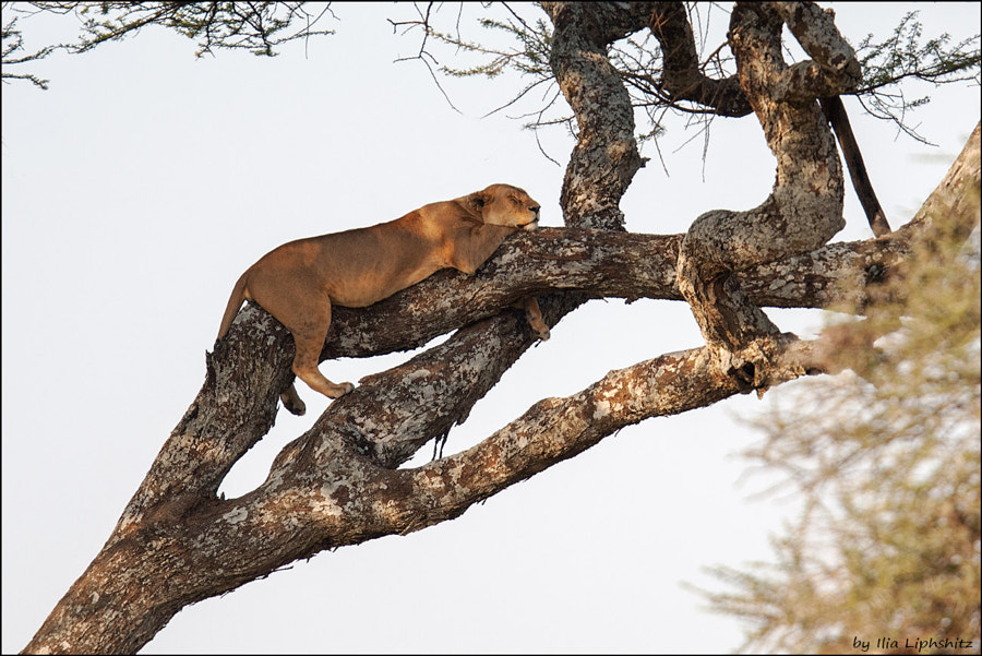Lions of Serengeti №4 - lioness on the tree