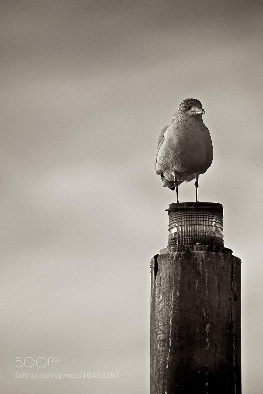 Photograph Bird on a pole by Leslie Butt on 500px
