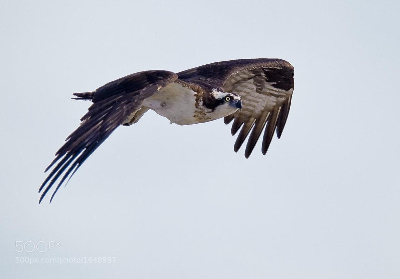 Photograph Osprey by Steven Kersting on 500px