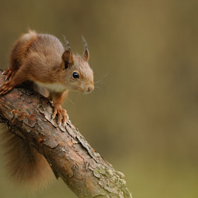 Red Squirrel by Brand Timmer (bctimmer)) on 500px.com
