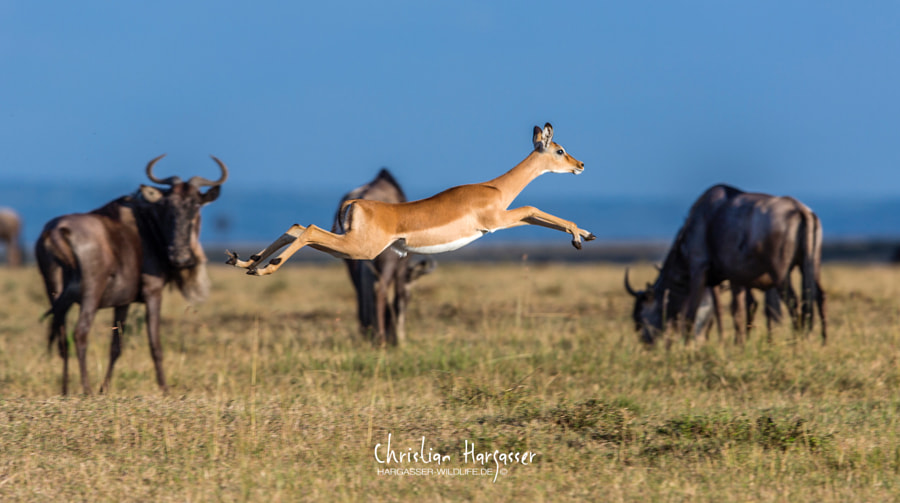 Jumping gazelle by Christian Hargasser-Wildlife on 500px.com