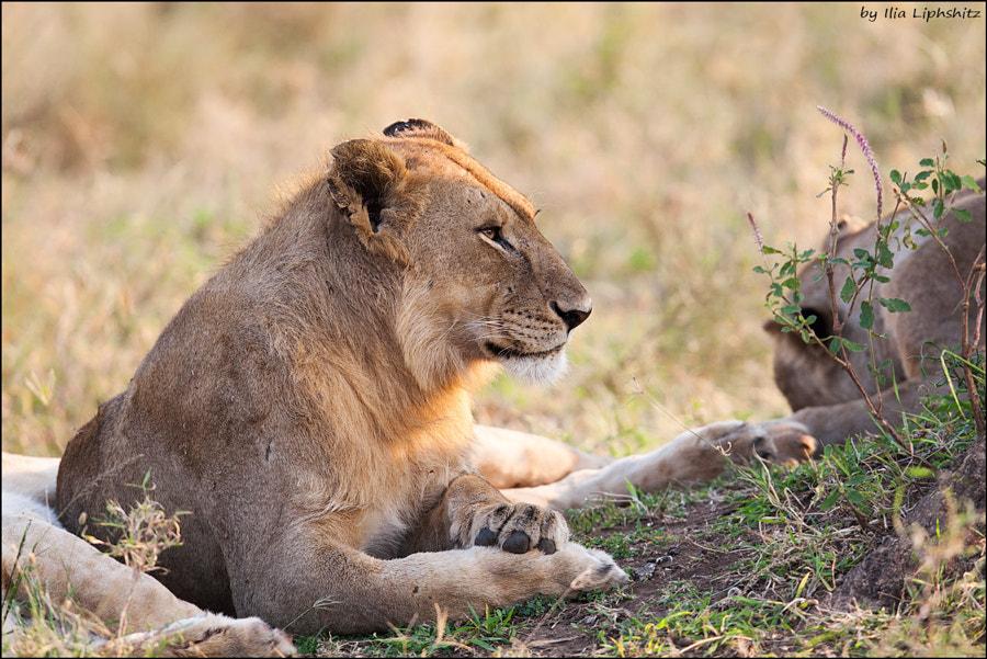 Lions of Serengeti №5