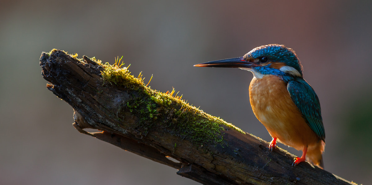 Photograph Kingfisher in the Morning Light by Jaak Sarv on 500px