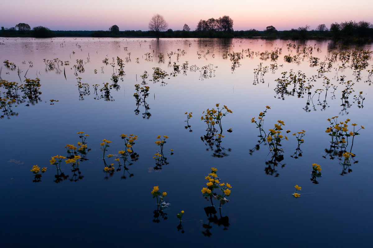 Photograph Marsh Marygold by Jaak Sarv on 500px