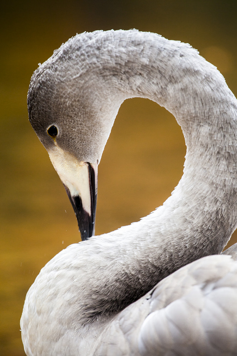Photograph Young Swan by Niklas Hjelm on 500px