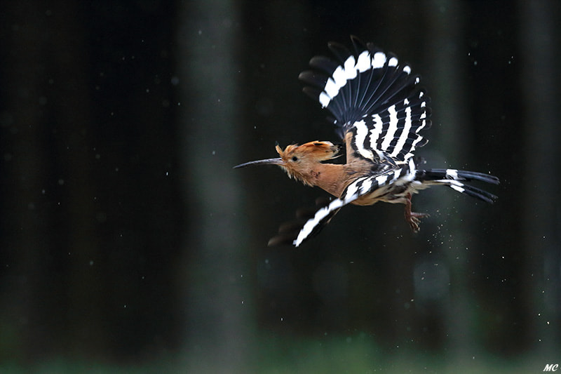 Hoopoe flying by Marc Costermans on 500px.com