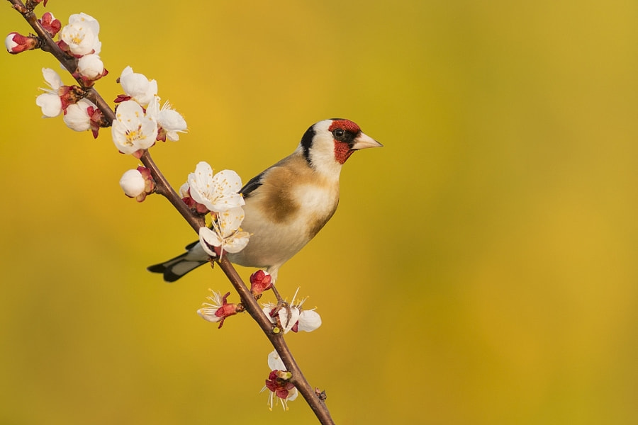goldfinch by Erik Müller on 500px.com