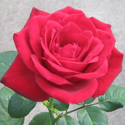 Red rose in the, Canon POWERSHOT A470