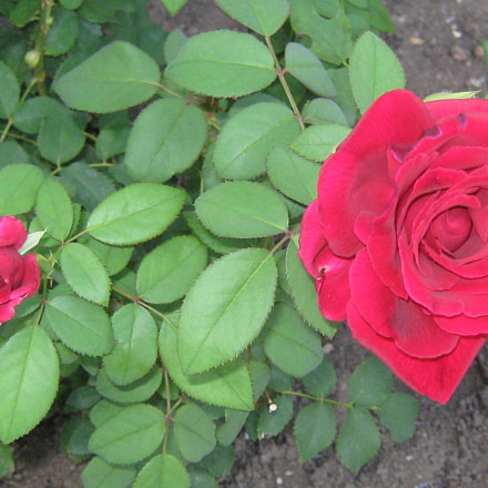 Two red roses, Canon POWERSHOT A470