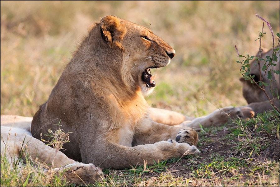 Lions of Serengeti №6