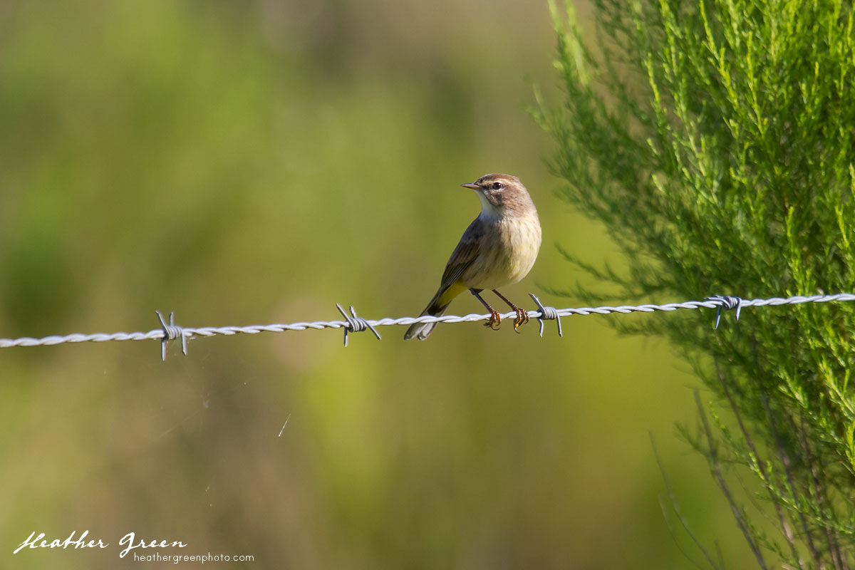 Photograph Palm Warbler by Heather Green on 500px