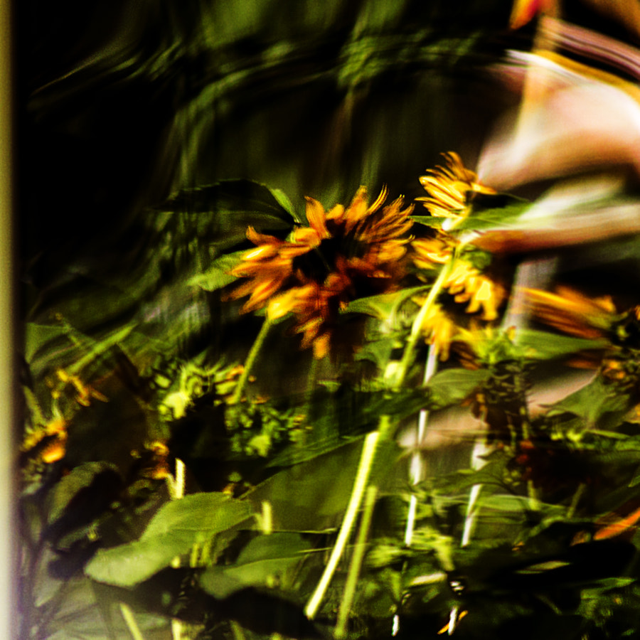 Reflected Sunflowers by Jeff Carter on 500px.com